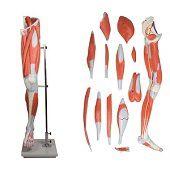 Anatomie model spieren been en bekken, 13-delig