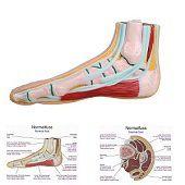 Anatomie model voet (normale voet)