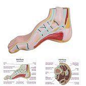 Anatomie model voet (holvoet)