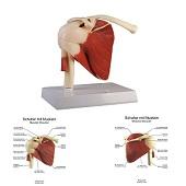 Anatomie model schoudergewricht met spieren