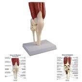 Anatomie model kniegewricht met spieren