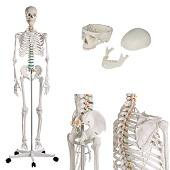 Anatomie model menselijk skelet, 178 cm