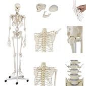 Anatomie model menselijk skelet, 176 cm