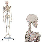 Anatomie model menselijk skelet met origo en insertie van spieren, 176 cm