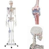 Anatomie model menselijk skelet met origo en insertie van spieren en ligamenten, 176 cm