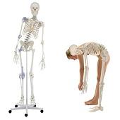 Anatomie model menselijk skelet met ligamenten, flexibel, 176 cm