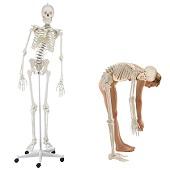 Anatomie model menselijk skelet, flexibel, 176 cm