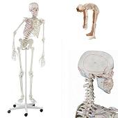 Anatomisch model menselijk skelet met origo en insertie van spieren, flexibel, 176 cm