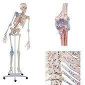 Anatomie model menselijk skelet met origo en insertie van spieren en ligamenten, flexibel, 176 cm