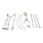 Anatomie model menselijk skelet, half, ongemonteerd