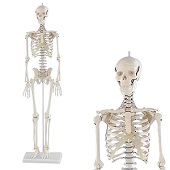 Anatomie model menselijk skelet, 84 cm