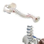 Anatomie model wervelkolom, 70 cm
