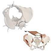 Anatomie model bekken en lumbale wervelkolom