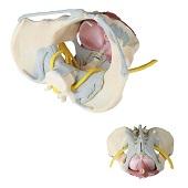 Anatomie model bekken, bekkenbodemspieren, ligamenten en zenuwen, vrouw