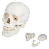Anatomie model schedel (3-delig)