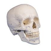 Anatomie model schedel genummerd (3-delig)