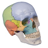 Anatomie model schedel didactisch genummerd (3-delig)