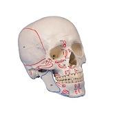 Anatomie model schedel met origo en insertie (3-delig)