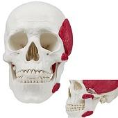 Anatomie model schedel met kauwspieren (3-delig)