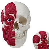 Anatomie model schedel met spieren (3-delig)