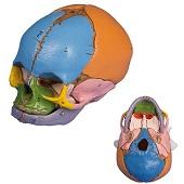 Anatomie model schedel foetus (38 weken)