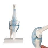 Anatomie model kniegewricht