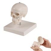Anatomie model schedel miniatuur met statief