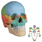 Anatomie model schedel osteopathie, 22-delig, topkwaliteit