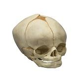 Anatomie model schedel foetus (40 weken)