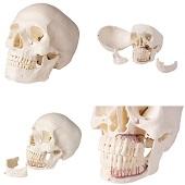 Anatomie model schedel voor tandheelkunde en kaakchirurgie, 5-delig