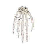 Anatomie model hand genummerd