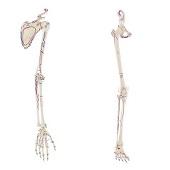 Anatomie model armskelet en schouderblad + beenskelet en bekken met spieren
