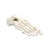 Anatomie model voetskelet