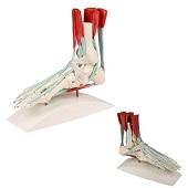 Anatomie model voet met spieren, pezen en retinacula