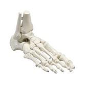 Anatomie model voetskelet met scheen- en kuitbeen