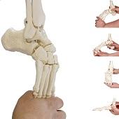 Anatomie model voetskelet met scheen- en kuitbeen flexibel