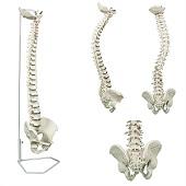 Anatomie model wervelkolom, flexibel, 75 cm