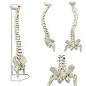Anatomie model wervelkolom met femurkoppen, flexibel, 85 cm