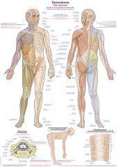 Anatomie poster dermatomen (Duits/Engels/Latijn, papier, 50x70 cm) + ophangsysteem
