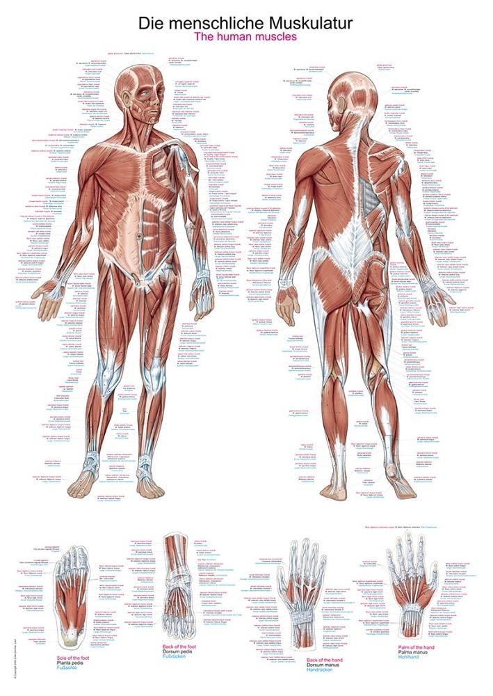anatomieposter / anatomie poster - Spieren poster (70x100 cm)