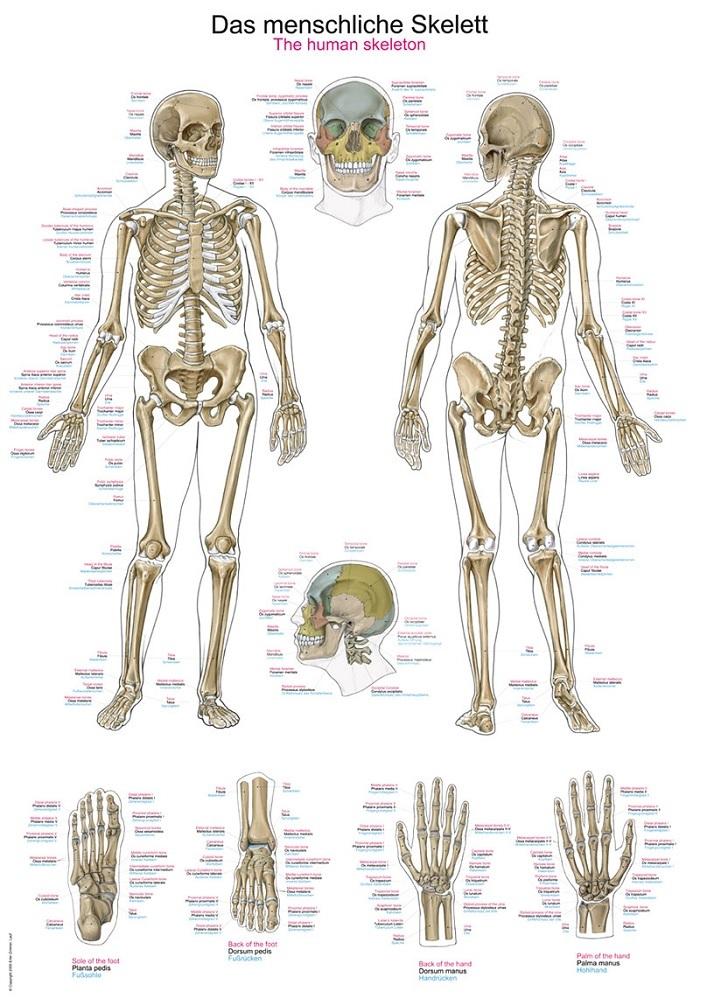 anatomieposter / anatomie poster - Skelet poster (70x100 cm)