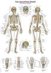 Anatomie poster skelet (Duits/Engels/Latijn, kunststof-folie, 70x100 cm)