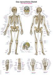 Skelet poster<br/>(Duits/Engels/Latijn, papier, 50x70 cm) + ophangsysteem