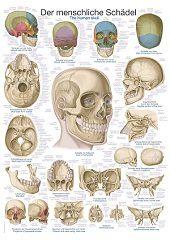 Anatomie poster schedel (Duits/Engels/Latijn, kunststof-folie, 70x100 cm)