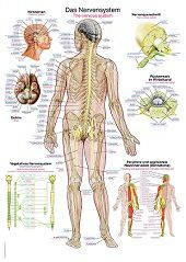 Anatomie poster zenuwstelsel (Duits/Engels/Latijn, papier, 50x70 cm) + ophangsysteem