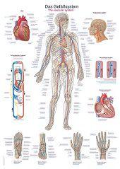 Anatomie poster bloedsomloop (papier, 50x70 cm)