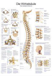 Anatomie poster wervelkolom (Duits/Engels/Latijn, papier, 50x70 cm) + ophangsysteem