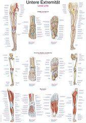 Anatomie poster onderste extremiteit (papier, 50x70 cm)