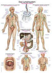 Anatomie poster lymfe (Duits/Engels/Latijn, kunststof-folie, 70x100 cm)