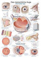 Anatomie poster oog (Duits/Engels/Latijn, kunststof-folie, 70x100 cm)